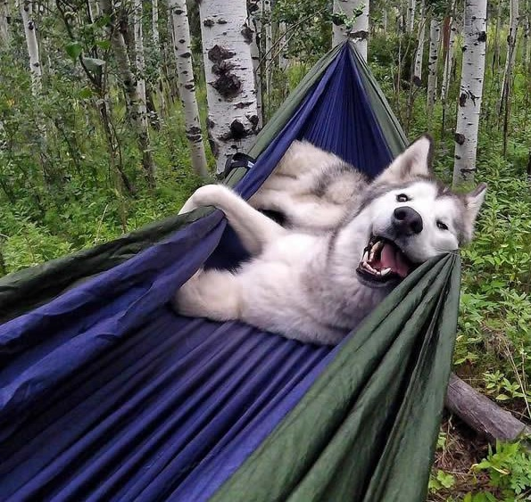 the most adventurous wolfdog loki 21 pictures 16