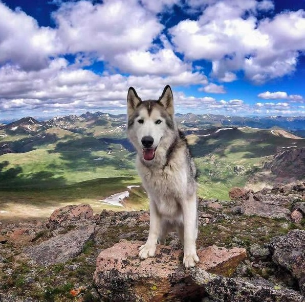 the most adventurous wolfdog loki 21 pictures 4