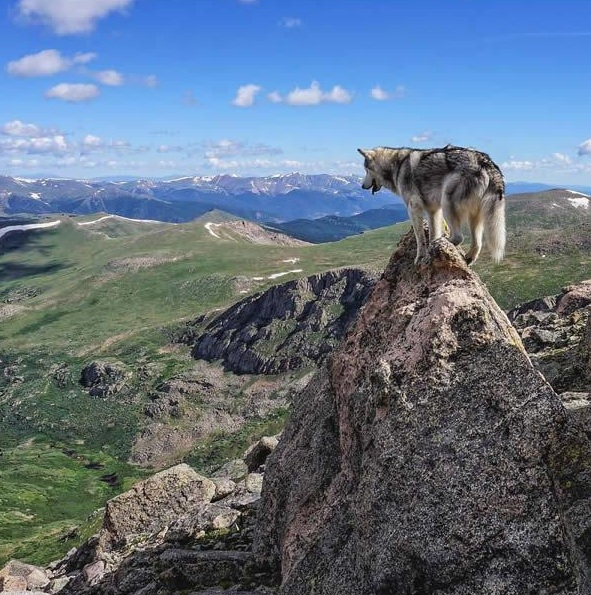 the most adventurous wolfdog loki 21 pictures 6