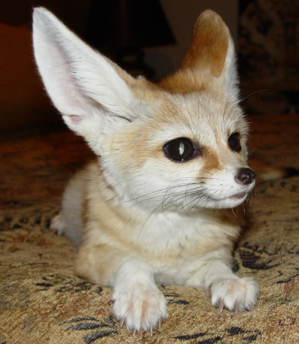 the most beautiful foxes of the world 10 pictures 2
