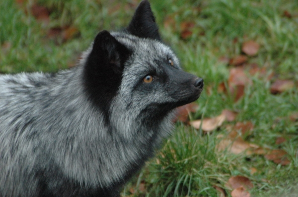 the most beautiful foxes of the world 10 pictures 5