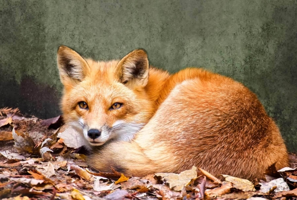 the most beautiful foxes of the world 10 pictures 7