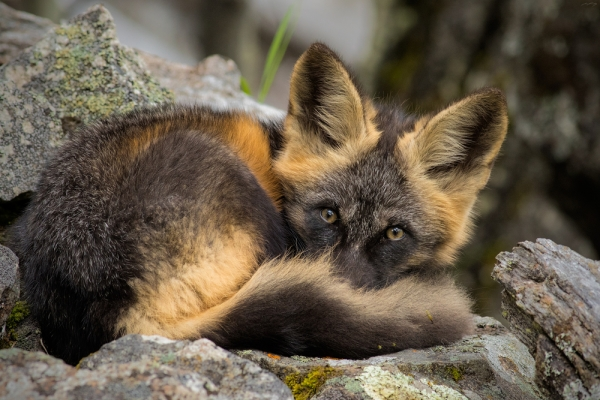 the most beautiful foxes of the world 10 pictures 8