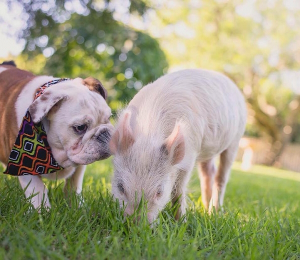 the piglet that found a home among dogs 9 photos 5