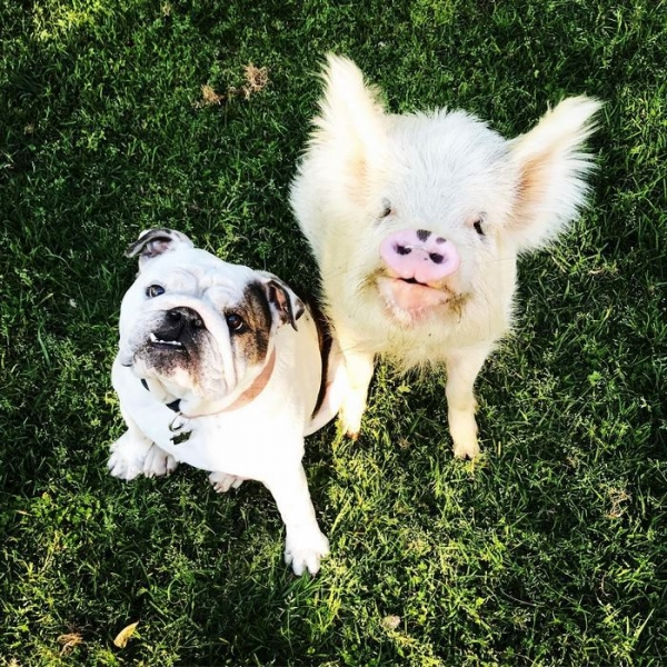 the piglet that found a home among dogs 9 photos 6
