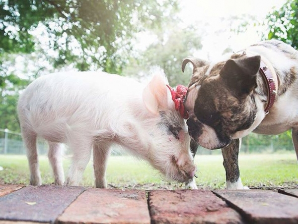 the piglet that found a home among dogs 9 photos 7