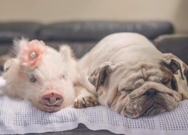 the piglet that found a home among dogs 9 photos 8