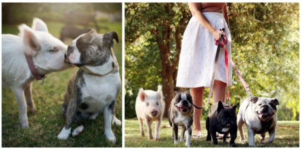 the piglet that found a home among dogs 9 photos 9