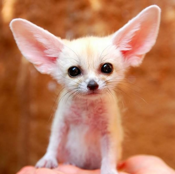 these cuties with big ears surely wont leave you indifferent 9 pics 9