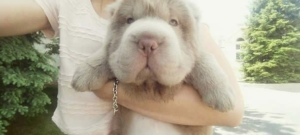 tonkey is the fluffiest shar pei and newest internet sensation 13 pics 1