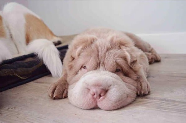 tonkey is the fluffiest shar pei and newest internet sensation 13 pics 10