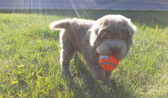 tonkey is the fluffiest shar pei and newest internet sensation 13 pics 11