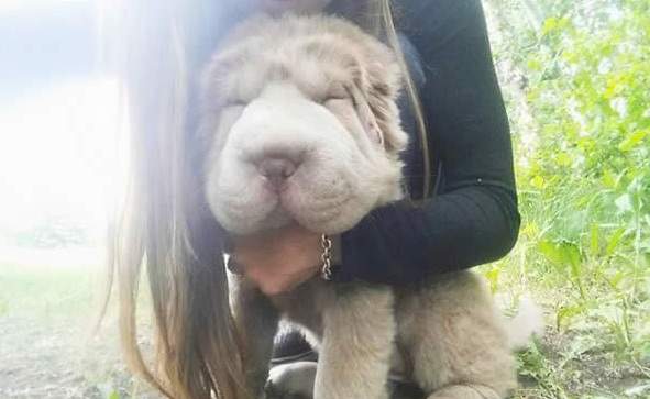tonkey is the fluffiest shar pei and newest internet sensation 13 pics 13
