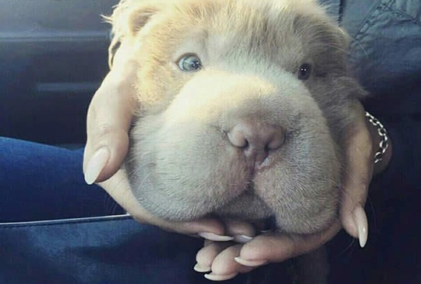 tonkey is the fluffiest shar pei and newest internet sensation 13 pics 3