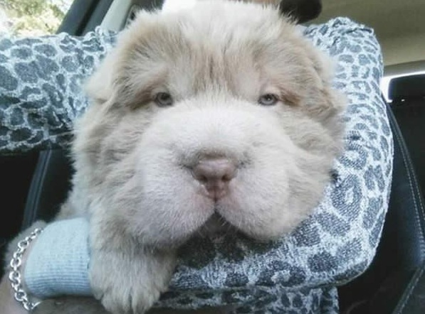 tonkey is the fluffiest shar pei and newest internet sensation 13 pics 5