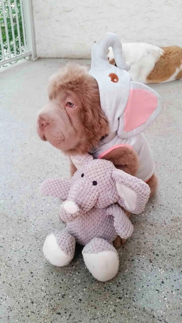 tonkey is the fluffiest shar pei and newest internet sensation 13 pics 6