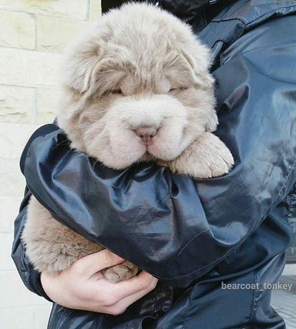 tonkey is the fluffiest shar pei and newest internet sensation 13 pics 9