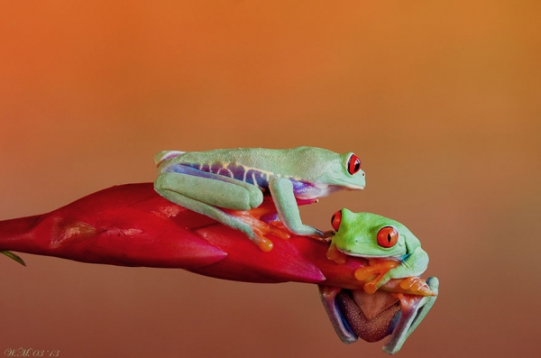 too beautiful to be real magical world of tropical frogs 17 pics 11
