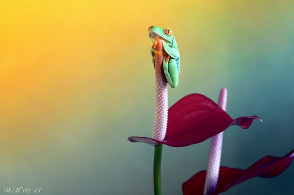 too beautiful to be real magical world of tropical frogs 17 pics 16