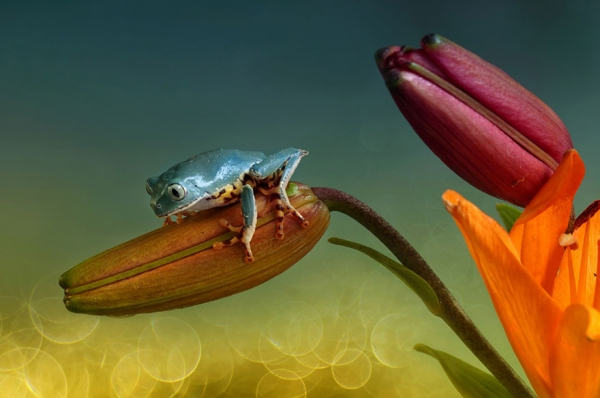 too beautiful to be real magical world of tropical frogs 17 pics 5