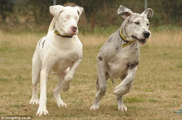 touching story of a blind great dane 7 pics 4