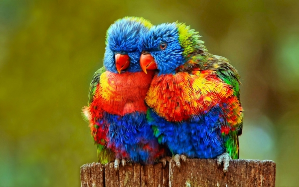 true meaning of lovebirds 12 pictures 1