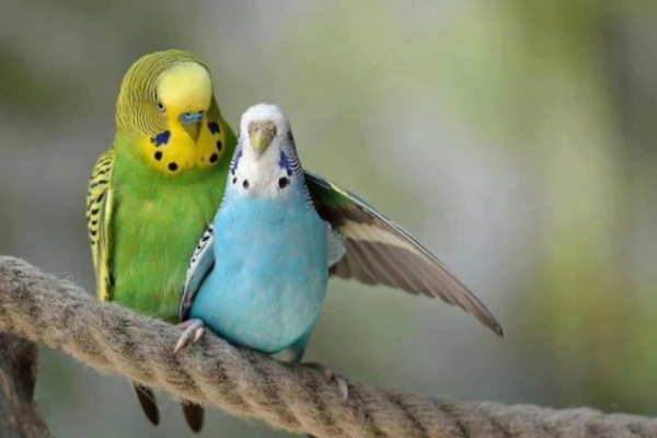 true meaning of lovebirds 12 pictures 2
