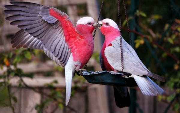 true meaning of lovebirds 12 pictures 3