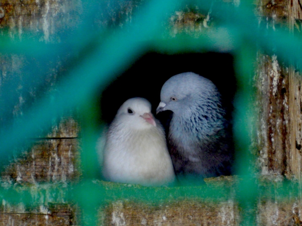 true meaning of lovebirds 12 pictures 5
