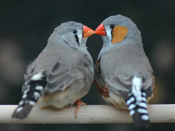 true meaning of lovebirds 12 pictures 8