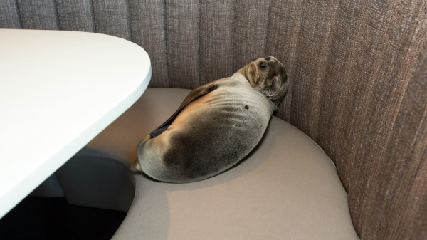 unexpected guest in classy san diego restaurant 9 pictures 1