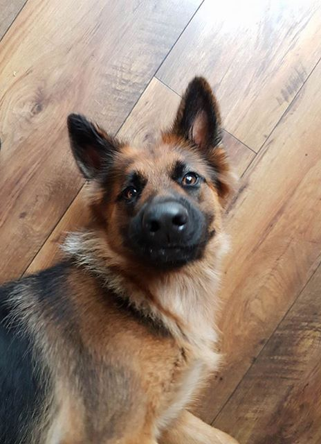 Author: Lalo Lavie, Description: Alsatian dog being serious while taking a selfie.