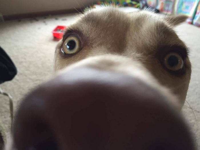 Author: Josie Wegmiller, Description: Adorable dog being very close to the camera while taking a dog selfie.