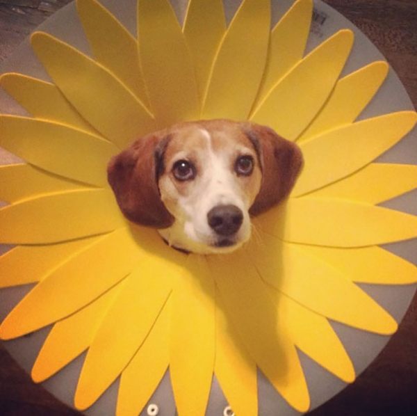 wearing a cone of shame can be fun if you are creative 12 pictures 9