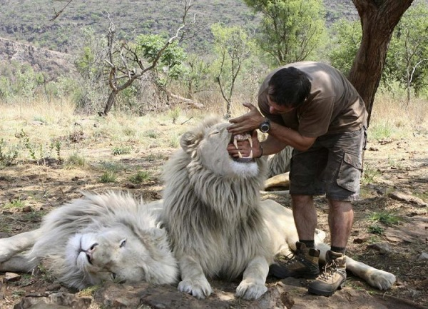 when work becomes pleasure 18 pics of lion whisperer from south africa 13