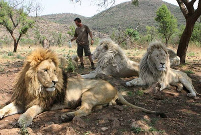 when work becomes pleasure 18 pics of lion whisperer from south africa 14