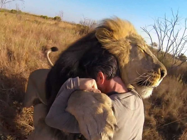 when work becomes pleasure 18 pics of lion whisperer from south africa 16