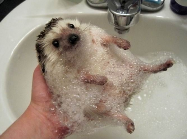 why a pygmy hedgehog is the perfect pet 10 pictures 2