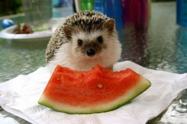 why a pygmy hedgehog is the perfect pet 10 pictures 3