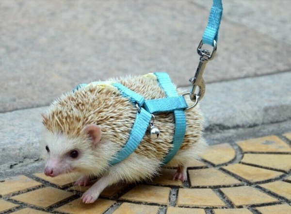 why a pygmy hedgehog is the perfect pet 10 pictures 4