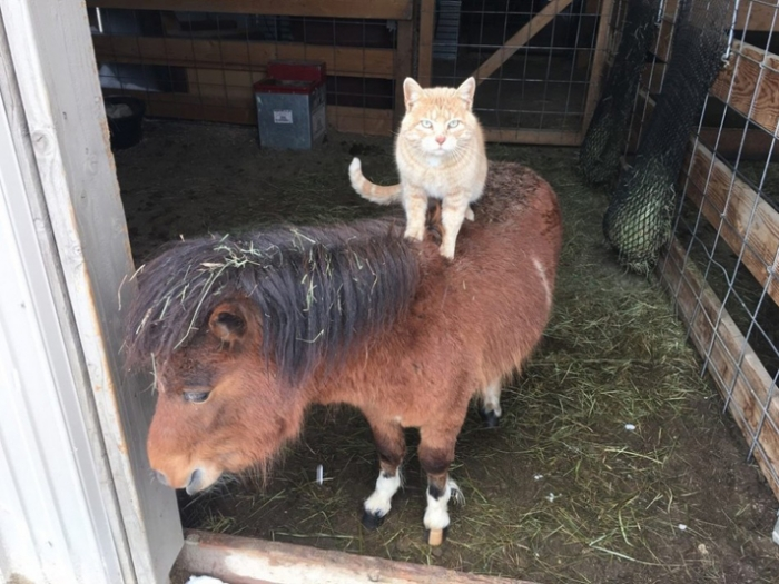 why is this bossy kitty riding farm animals all day 4