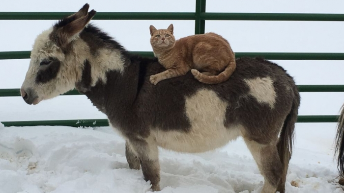why is this bossy kitty riding farm animals all day 5