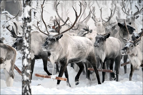 wildlife in coldest place on earth 10 pictures 6