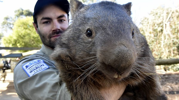 wombat pat is the cutest and fuzziest oldtimer 7 pics 1
