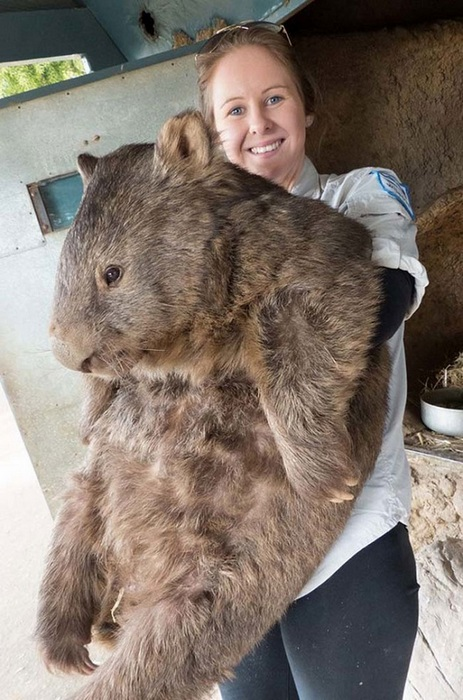 wombat pat is the cutest and fuzziest oldtimer 7 pics 4