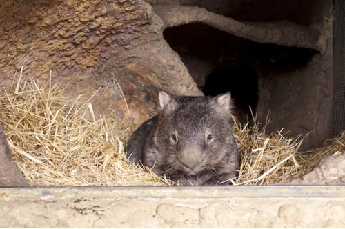 wombat pat is the cutest and fuzziest oldtimer 7 pics 6