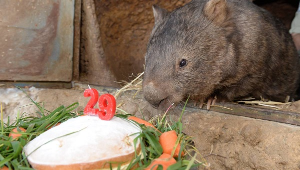 wombat pat is the cutest and fuzziest oldtimer 7 pics 7