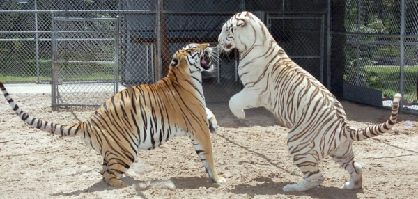women from orlando sharing her backyard two bengal tigers 11 pics 1 video 2