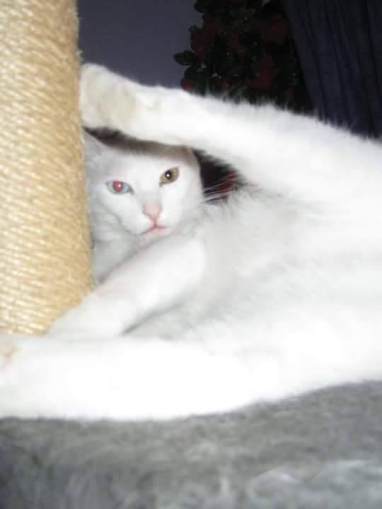 Author: Rebecca Von, Description: White cat with different eye color rised her leg while they film her
