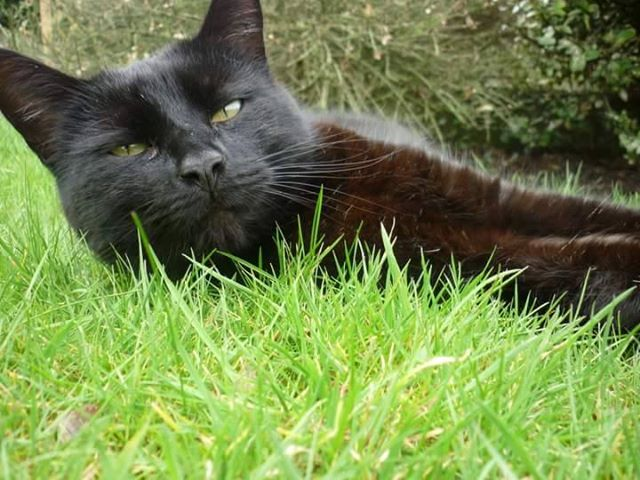 Author: Melissa Carney, Description: Black cat lying in the grass and tries to rest a bit